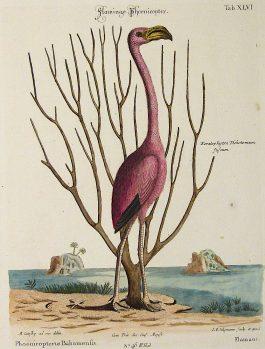 1770 – J. Seligmann / M. Catesby; Flamingo Phoenicopter.