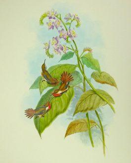 1849-1861 – J. Gould; Little Flame-bearer – Selasphorus (..).