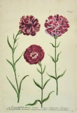 Carnation – Anjers – Caryophylli maximus; J. Weinmann & G.D. Ehret – 1736-1748