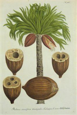 Palm tree / Palmboom – Palma coccifera (..); J. Weinmann & N. Asamin – 1736-1748