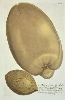 Coconut / kokosnoot – Caryophylli hortensis maximus (..); J. Weinmann & N. Asamin – 1736-1748