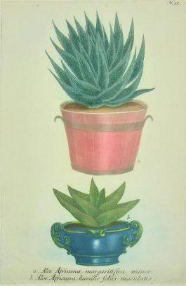 Aloë / Aloe Africana margaritifera minor.; J. Weinmann & G.D. Ehret – 1736-1748