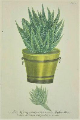 Aloë – Aloe Africana margaritifera major.; J. Weinmann & G.D. Ehret – 1736-1748