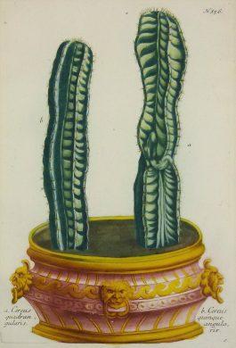 Cactus – Cereus quadrangularis.; J. Weinmann & G.D. Ehret – 1736-1748