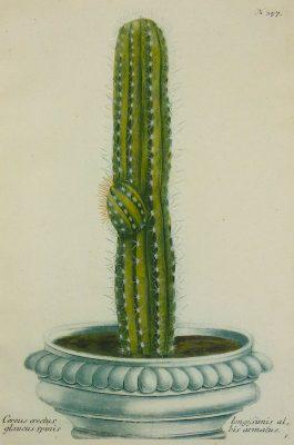 Cactus – Cereus erectus glaucus spinis.; J. Weinmann & G.D. Ehret – 1736-1748