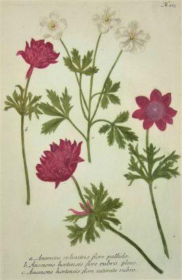 Windflower – Anemone hortensis flore (..); J.  Weinmann & G.D. Ehret – 1736-1748