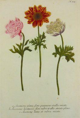 Windflower – Anemone plena flore (..); J. Weinmann & G.D. Ehret – 1736-1748