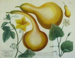 Gourds / Kalebassen – Cucurbita longa (..); J. Weinmann & G. D. Ehret – 1736-1748