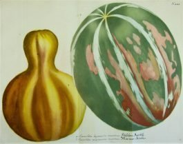 Gourds – Kalebassen – Cucurbita maxima (..); J. Weinmann & G.D. Ehret -1736-1748
