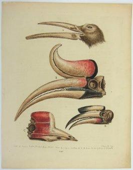 Hornbill / Neushoornvogel – Beaks of exotic birds (..).; G. Edwards – 1760