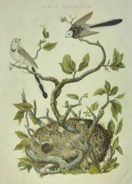 Long tailed tit / Staartmees – Parus Caudatus.; C. Nozeman & J.C. Sepp – 1770