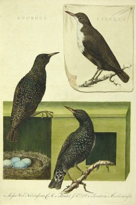 Starling and dipper / Spreeuw en waterspreeuw – Sturnus et Cinclus.; C. Nozeman & J.C. Sepp – 1770