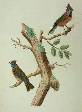 Crested tit / Kuifmees – Parus Cristatus.; C. Nozeman & J. Sepp – 1829