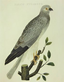 Harrier / Kiekendief – Falco Pygargus.; C. Nozeman & J.C. Sepp – 1809