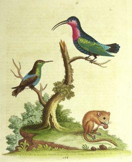 Hummingbirds & Dormouse / kolibri's en een hazelmuis; G. Edwards -1760