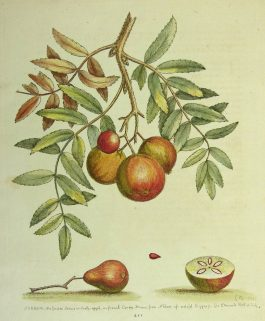 Apple service – Peerlijsterbes; G. Edwards – 1758