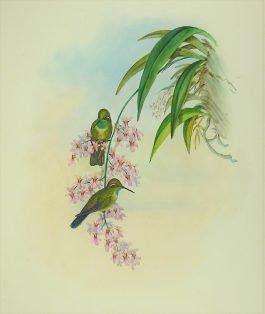 Green-throated Cazique – Delattria (..); J. Gould – 1849-1861