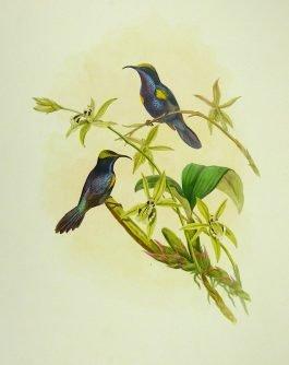 Penang Sun-bird – Nectarinia (..); J. Gould – 1850-1883