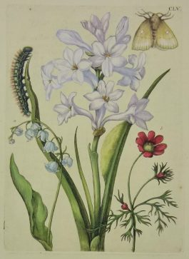 Hyacinth, Lily-of-the-Valley, Ranunculus – Hyacinthus, Lilium, Ranunculus – Hyacinth, Lelie-van-dalen, Ranonkel – insects / CLV.; Maria Sibylla Merian & J.F. Bernard – 1730