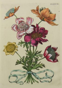 Anemone Posy –  Anemone tenuifolia hexaphyllo, Anemone tenuifoli – boeket Anemomen – insects / CLXXVII.; Maria Sibylla Merian & J.F. Bernard – 1730