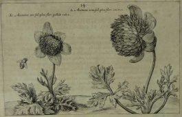Anemone – Anemone Tenifol – Anemoon / 14.; C. van de Passe – 1614