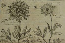 Anemone – Anemone Latifolia – Anemoon / 17.; C. van de Passe – 1614