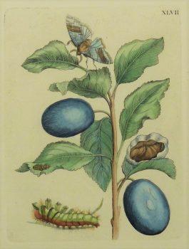 Plums – Fructus prunorum – Pruimen – insects / XLVII.; Maria Sibylla Merian & J.F. Bernard – 1730