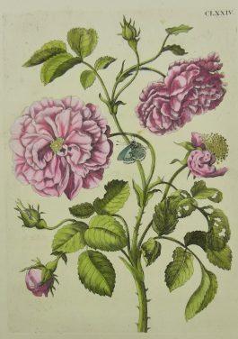 Rose, Rosa multiplex media, Roos / CLXXIV.; Maria Sibylla Merian & J.F. Bernard – 1730