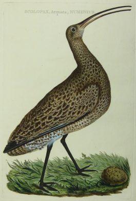 Curlew – Wulp – Scolopax (..).; C. Nozeman & J.C. Sepp – 1789