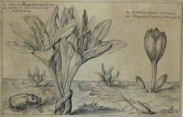 Byzantine meadow saffron – Colchicum Byzantinu – Herfsttijlloos / 19.; C. van de Passe – 1614