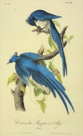 Columbia Magpie or Jay – Pica Bullockii – Columbia Ekster; J. J. Audubon – 1840-1844
