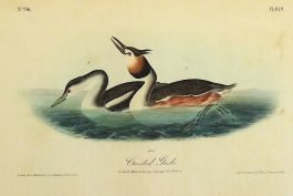 Crested Grebe – Podiceps Cristatus – Fuut; J. J. Audubon – 1840-1844