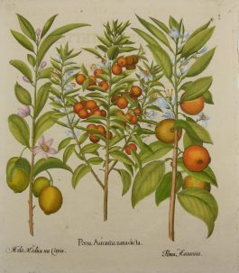 Orange, citron – Sinaasappel, citroen – I Poma Aurantia (..); B. Besler – 1713