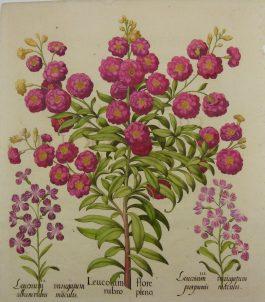 Gillyflower – Violier – Leucoium flore (..); B. Besler – 1713